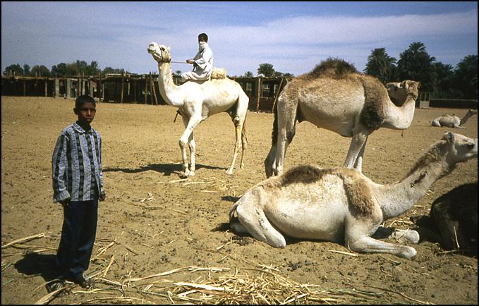 chameaux egypte