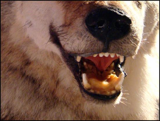 gueule de loup musee du loup bretagne