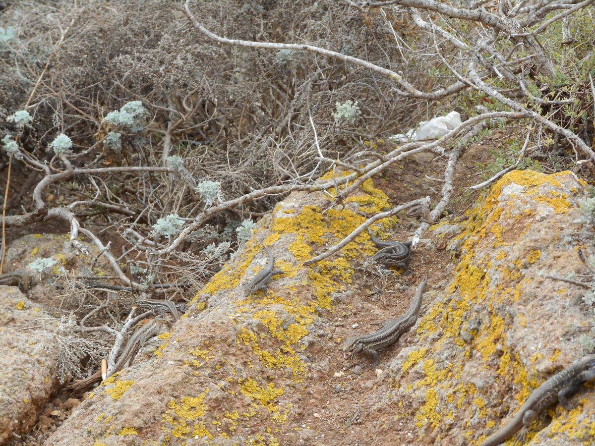 Mirador envahi par de très gros lézards en quête de nourriture.