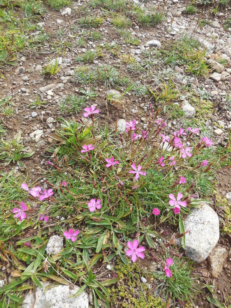 1ères fleurs que nous trouvons... sentier lacs de baciver