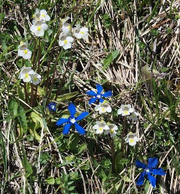 Fleurs des Alpes : Découvrir les arbres, plantes et fleurs de la flore alpine 34