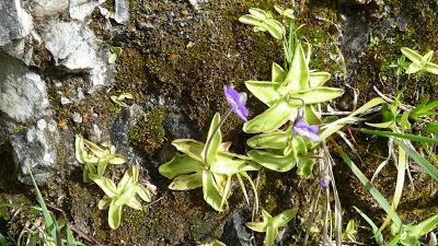 Fleurs des Alpes : Découvrir les arbres, plantes et fleurs de la flore alpine 20
