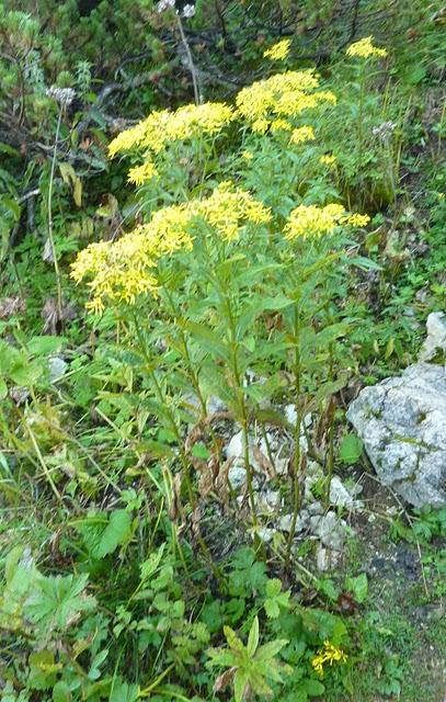 Fleurs des Alpes : Découvrir les arbres, plantes et fleurs de la flore alpine 9