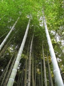 Photos Chine - Au coeur d'une forêt de bambous de Chine 4