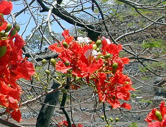 tahiti-flamboyant.1274876674.jpg