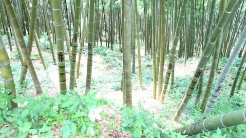 Photos Chine - Au coeur d'une forêt de bambous de Chine 7