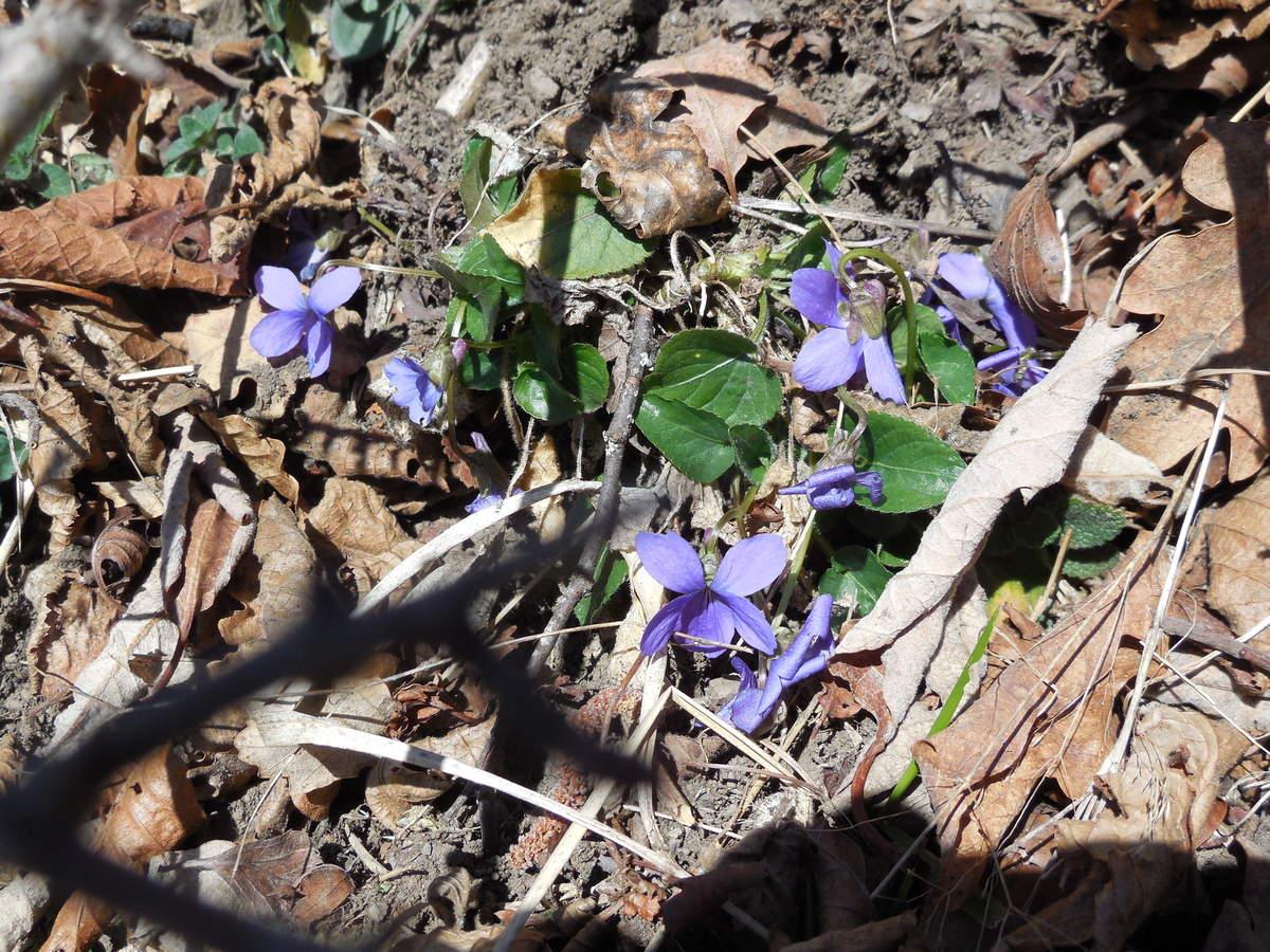 Viola hirta = violette hérissé