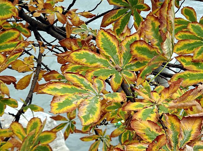 feuilles de marronnier paris automne