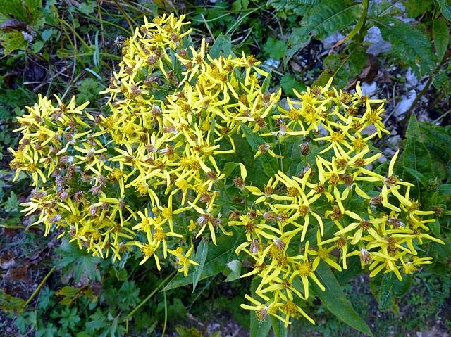 Fleurs des Alpes : Découvrir les arbres, plantes et fleurs de la flore alpine 7