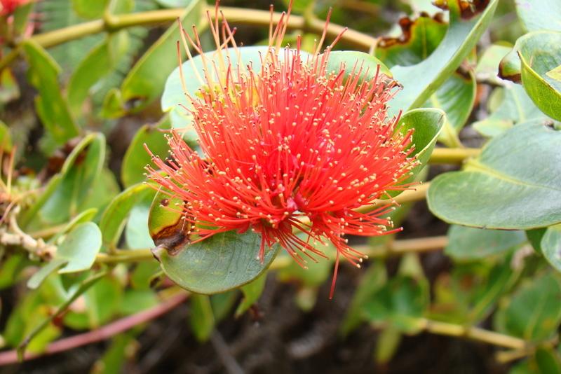 tahiti-fleur-puarata.1274258010.JPG