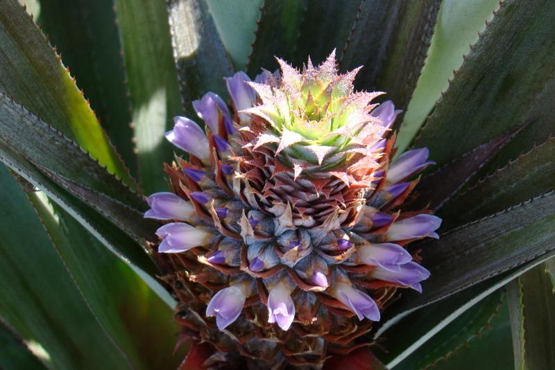 tahiti-plateau-des-ananas.1274258066.JPG