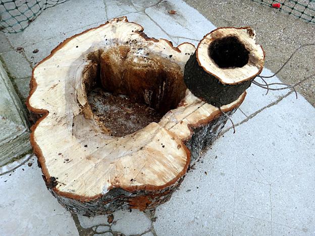 arbre creve paris jardin du luxembourg