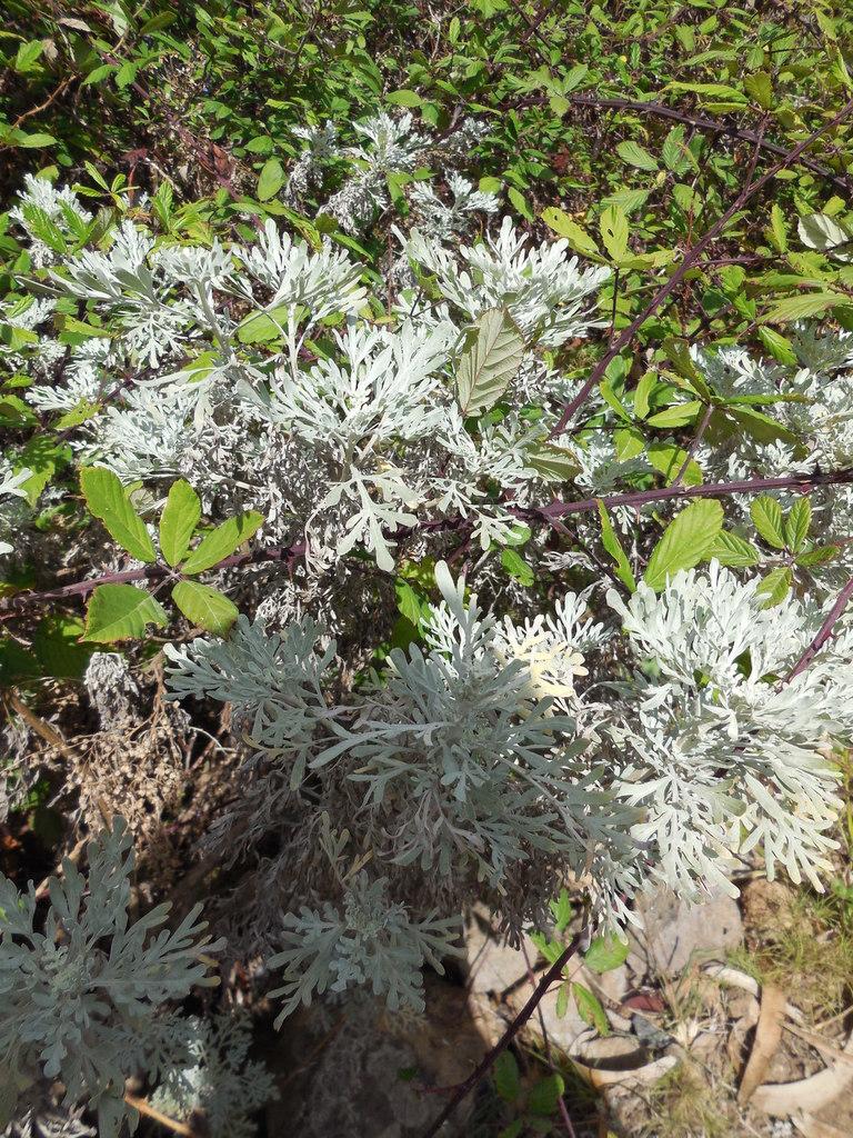 Artemisia (ou encens des Canaries)
