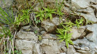 Fleurs des Alpes : Découvrir les arbres, plantes et fleurs de la flore alpine 17