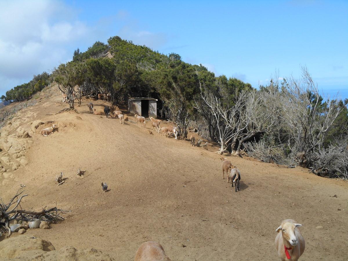 """Un des rares troupeaux d'animaux que nous trouverons sur l'île! Il s""""agit de moutons qui ont la particularité de ne pas avoir de laine."""