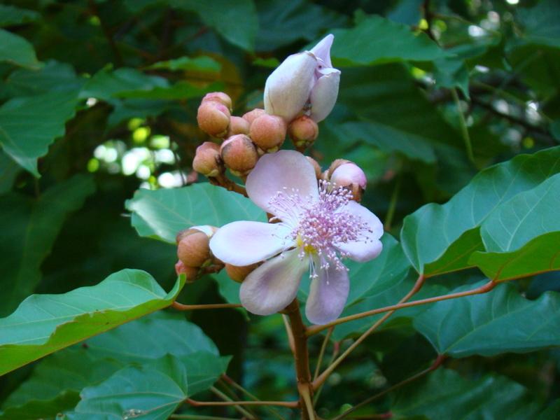tahiti-fleur-de-roucouyer.1274257999.JPG
