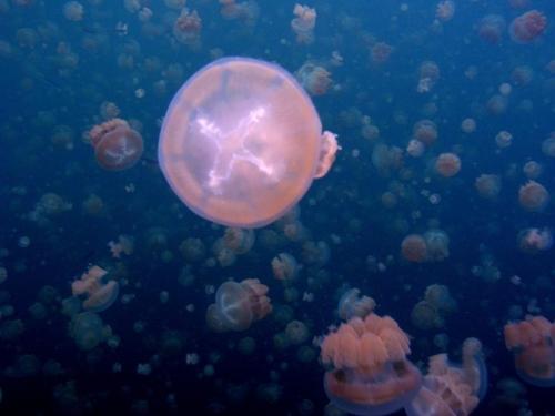 Palau%20Jellyfish.jpg