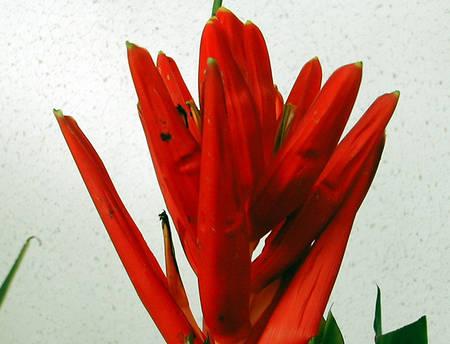 tahiti-fleur.1274876685.jpg