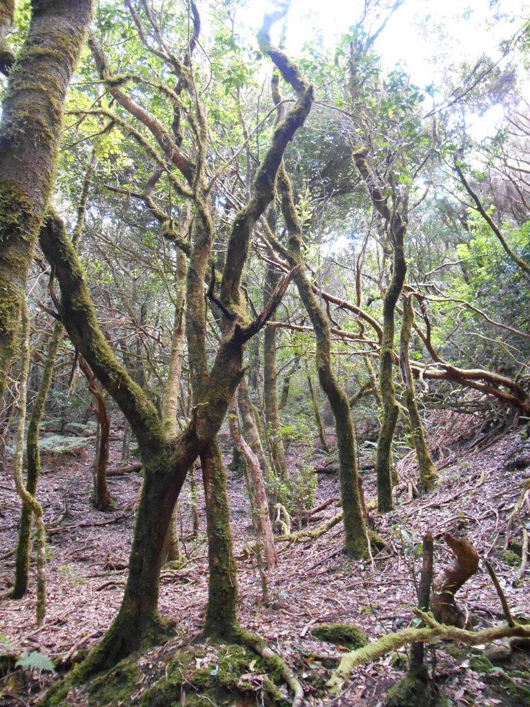 Nous pénétrons dans la forêt primaire composée essentiellement de lauriers géants et de bruyères arborescentes.