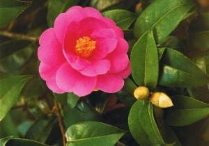 Camellia Côtes-d'Armor