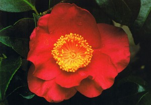 Camellia Ville de Guingamp