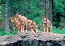Loups foret bavaroise