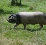 Pierre Oteiza, éleveur et artisan de porc basque (Pyrénées Atlantiques 64) 1