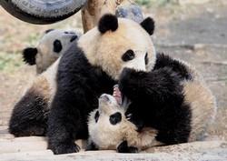 Zoo de Shanghai  (Shanghai Dongwu Yuan) : découvrir les pandas de Chine 1