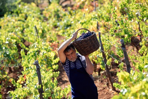 Récolte du raisin pour le varenik