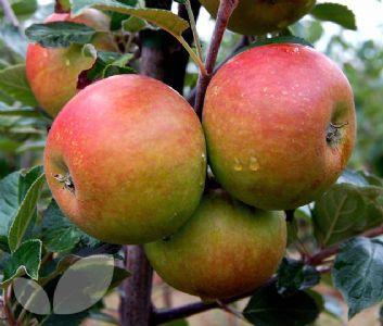 crapet pommes recette franc comtoise