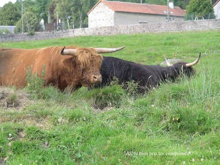 saint brisson vaches parc morvan