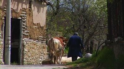 Serbie village un homme et sa vache