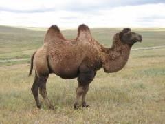 chameau bactriane désert de gobi mongolie