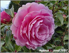 camellia festival guingamp