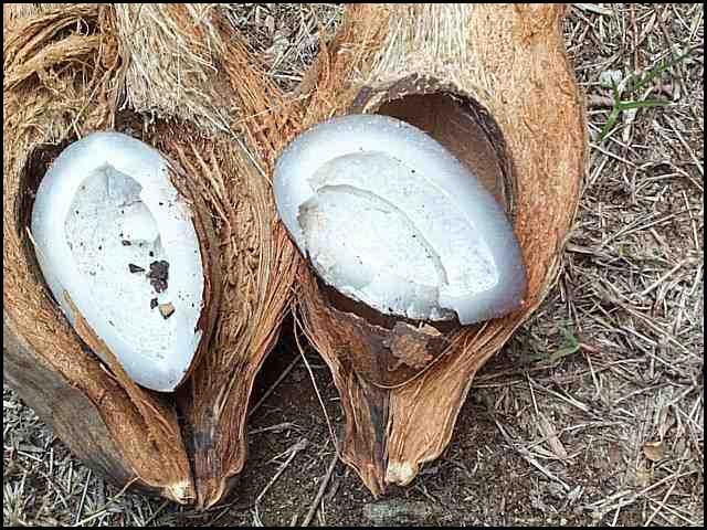 polynesie noix de coco
