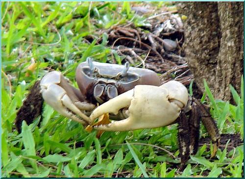 tupa kaveu crabe de tahiti