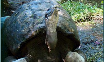 tortue male PAPEARI jardin botanique