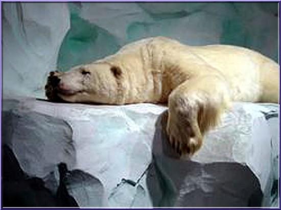 oceanopolis brest ours blanc
