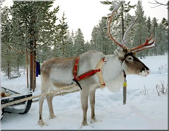 laponie finlande renne