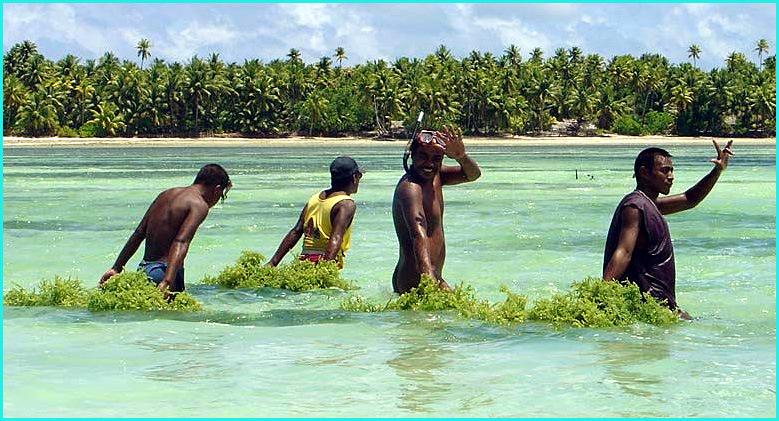 Kiribati ramasseurs d algues