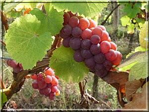 vignobles route des vins d'alsace