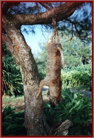 chien mort en polynesie