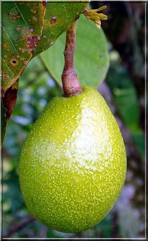 fruit de la passion tahiti polynesie francaise