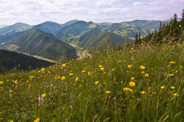 Vallée des Narcisses parc national des Carpates en Ukraine