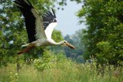 lonjsko polje cigogne vol