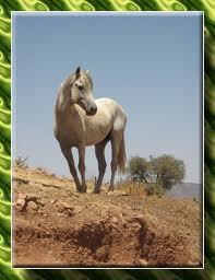 cheval maroc
