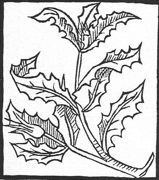 houx plante