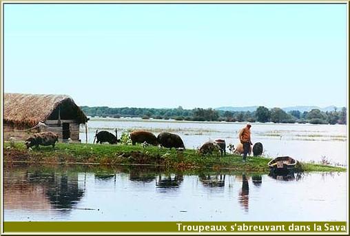 lonjsko polje vue de troupeaux