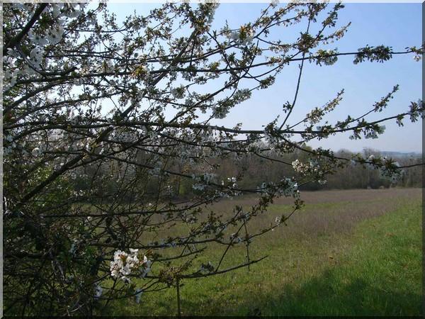 vezelay randonnee arbre en fleurs