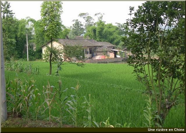 Chine riziere